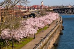 Spring Blooming Cherry Tress along a River Bank Walkway.