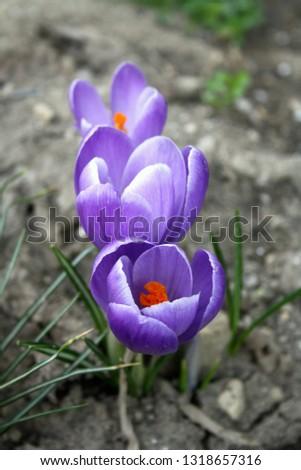 Spring-blooming crocuses bear large, cup-like violet-mauve blooms with orange stamen. #1318657316