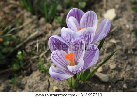 Spring-blooming crocuses bear large, cup-like violet-mauve blooms with orange stamen. #1318657319