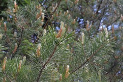 Spring blooming evergreen pine tree with pine cones