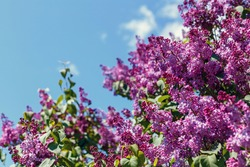 Spring blooming flowers of lilac on lilac bushes against the blue sky. Natural background blooming lilac flowers outside