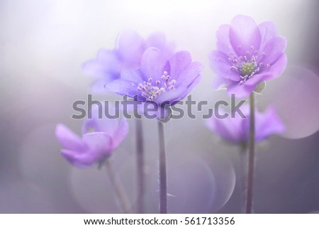 Spring blooming forest flowers in soft focus on light violet background outdoor close-up macro. Spring template floral background wallpaper. Elegant gentle air delicate artistic image.