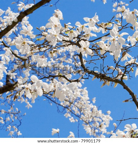 Spring blooming magnolia tree