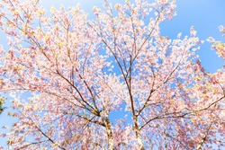 Spring blooming pink cherry on the sky background