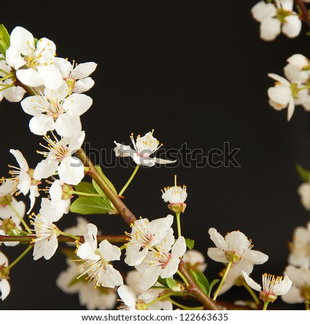spring blooming white plum flowers over black background