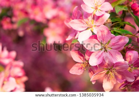 Spring blooms are pink wild apple flowers. Background of a blooming garden at sunset #1385035934