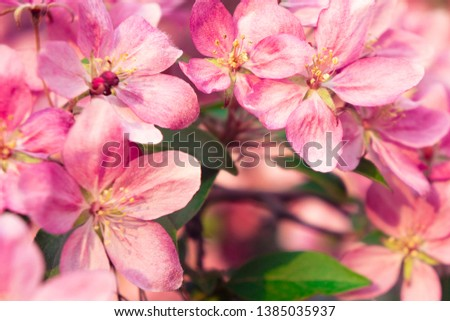 Spring blooms are pink wild apple flowers. Background of a blooming garden at sunset #1385035937