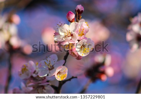 spring blooms peach, apricot, cherry, sakura, fruit tree flowers, blooming garden #1357229801