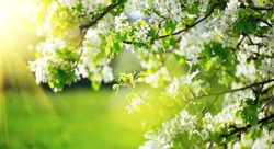 Spring Blossom backdrop art design. Orchard scene. Blossoming apple tree with sunbeams. Beautiful green nature background with blooming flowers on trees in sunny garden