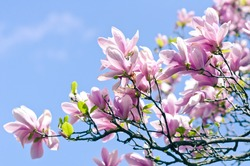 Spring blossom. Blooming Pink Magnolia across the blue sky. Spring. Garden.