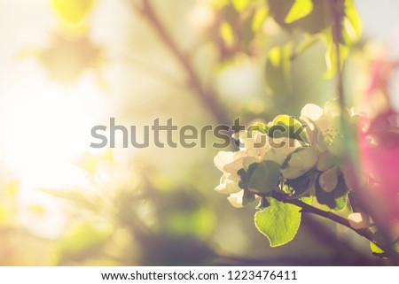 Spring blossom: branch of a blossoming apple tree on garden background.