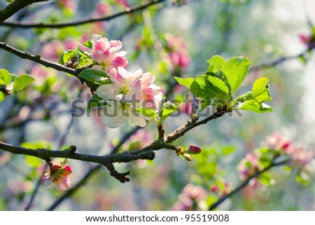 Spring blossom: branch of a blossoming apple tree on garden background #95519008