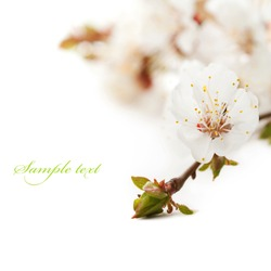 Spring blossom flower. Isolated over white