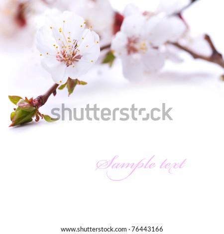 Spring blossom flower. Isolated over white - stock photo