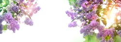 Spring blossom lilac flowers on white background. Floral romantic image nature. spring season. banner. copy space