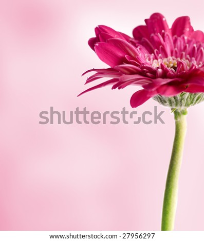 Spring Blossom - Macro of a gerber daisy with water droplets on the petals. shallow depth of field.