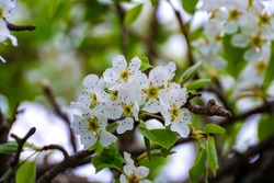 Spring blossom of cherry fruit tree in orchard close up