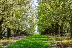Spring blossom of cherry fruit tree in orchards