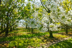 Spring blossom of cherry trees in orchard, fruit region Haspengouw in Belgium, nature landscape