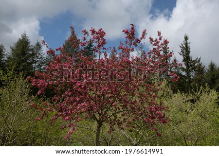 Spring Blossom on a Deciduous Pink Flowering Crab Apple Tree (Malus 'Rudolph') Growing in a Garden in Rural Devon, England, UK Stock photo ©