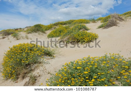 Spring blossom on  a dune - stock photo