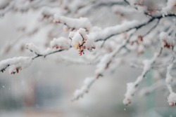 Spring blossom trees under the snow. Branches with bloomed cherry flowers under the snow. Shot of snowy park alley with shallow depth of field.
