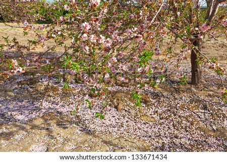 Spring blossoming almond tree and petals shower covering the earth