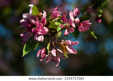 Spring blossoms, apple flowers. Natural background #1334757065