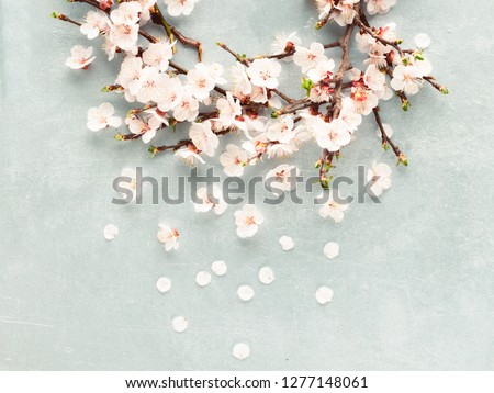 Spring blossoms blooming isolated on light blue or grey background, close up copy space, flowers tree branch blooming, white blossoms petals falling, cherry blossom, copy space