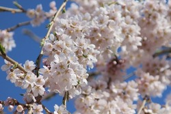 Spring blossoms on weeping cherry blossom tree