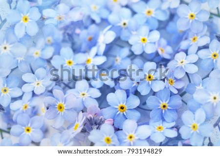Spring blue forget-me-nots flowers, pastel background, selective focus, toned