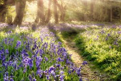 Spring bluebell path through a magical forest. Dawn sunlight coming through the misty trees
