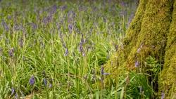 Spring bluebells growing around a lichen covered treestump.