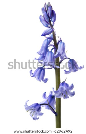 Spring bluebells, in macro, isolated on white background.