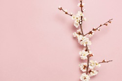 Spring border background with beautiful white flowering branches. Pastel pink background, bloom delicate flowers. Springtime concept. Flat lay top view copy space.