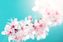 Spring border, spring blossom and April floral nature on blue background. Branches of blossoming apricot macro with soft focus. For easter and spring greeting cards with copy space. Springtime.