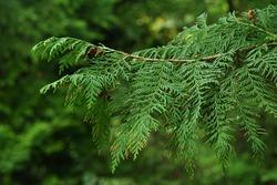 Spring branch and small cones of Sawara Cypress tree, also called Sawara or false cypress, latin name Chamaecyparis Pisifera, native to Japan islands Honshu and Kyushu