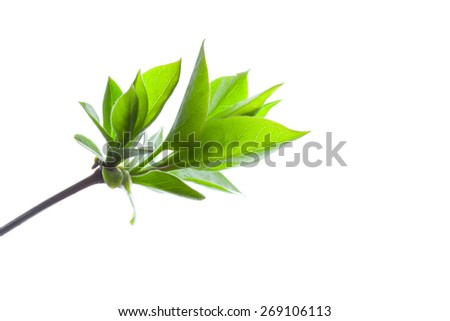 Spring branch of a Tree, Isolated on White Background #269106113