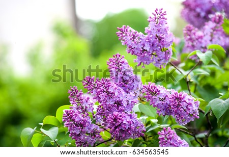 Spring branch of blossoming lilac - Shutterstock ID 634563545