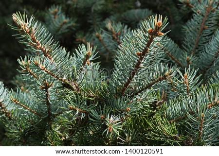 Spring branch tips of coniferous Blue Spruce tree, also called Green Spruce, White Spruce or Colorado Spruce, latin name Picea Pungens, sunbathing in afternoon sunshine. #1400120591
