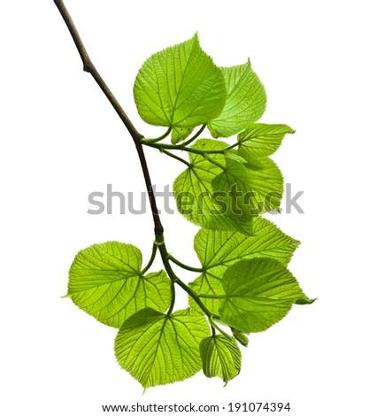 spring branch with fresh green...