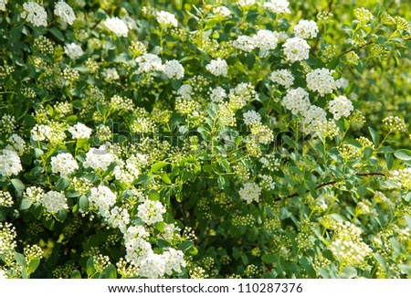 Spring branches with blossoming white small flowers - stock photo