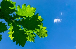 Spring bright background with a branch and leaves of an oak close-up against a blue sky in sunlight