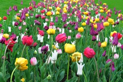 Spring bright flowers. Tulips blooming with colorful petals signaling spring has come. Spring background of nature for Womens Day.