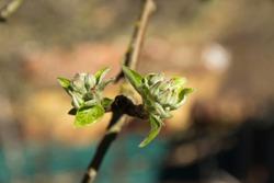 Spring buds or buds before flowering in apple tree