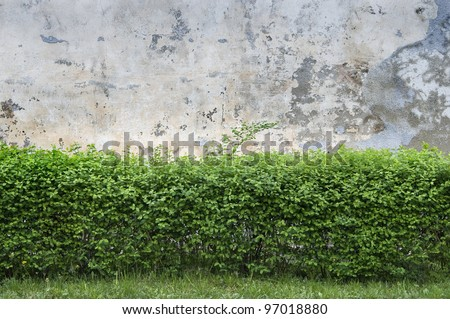 Spring bushes at an old wall