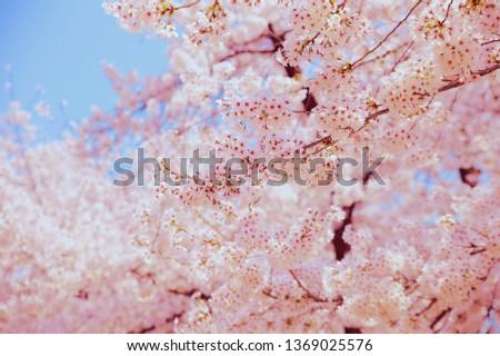 Spring Cherry Blossom #1369025576