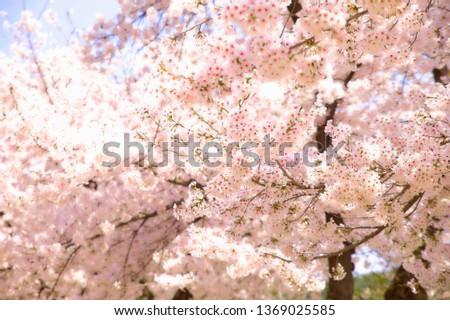 Spring Cherry Blossom #1369025585