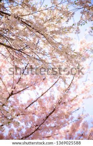 Spring Cherry Blossom #1369025588