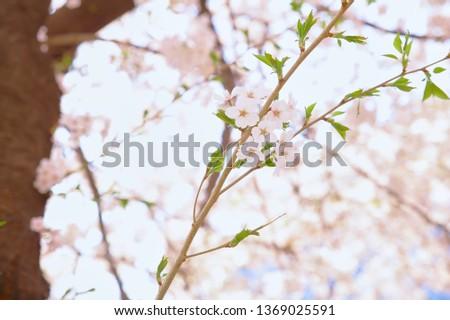 Spring Cherry Blossom #1369025591